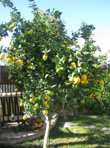 The little lemon tree that could