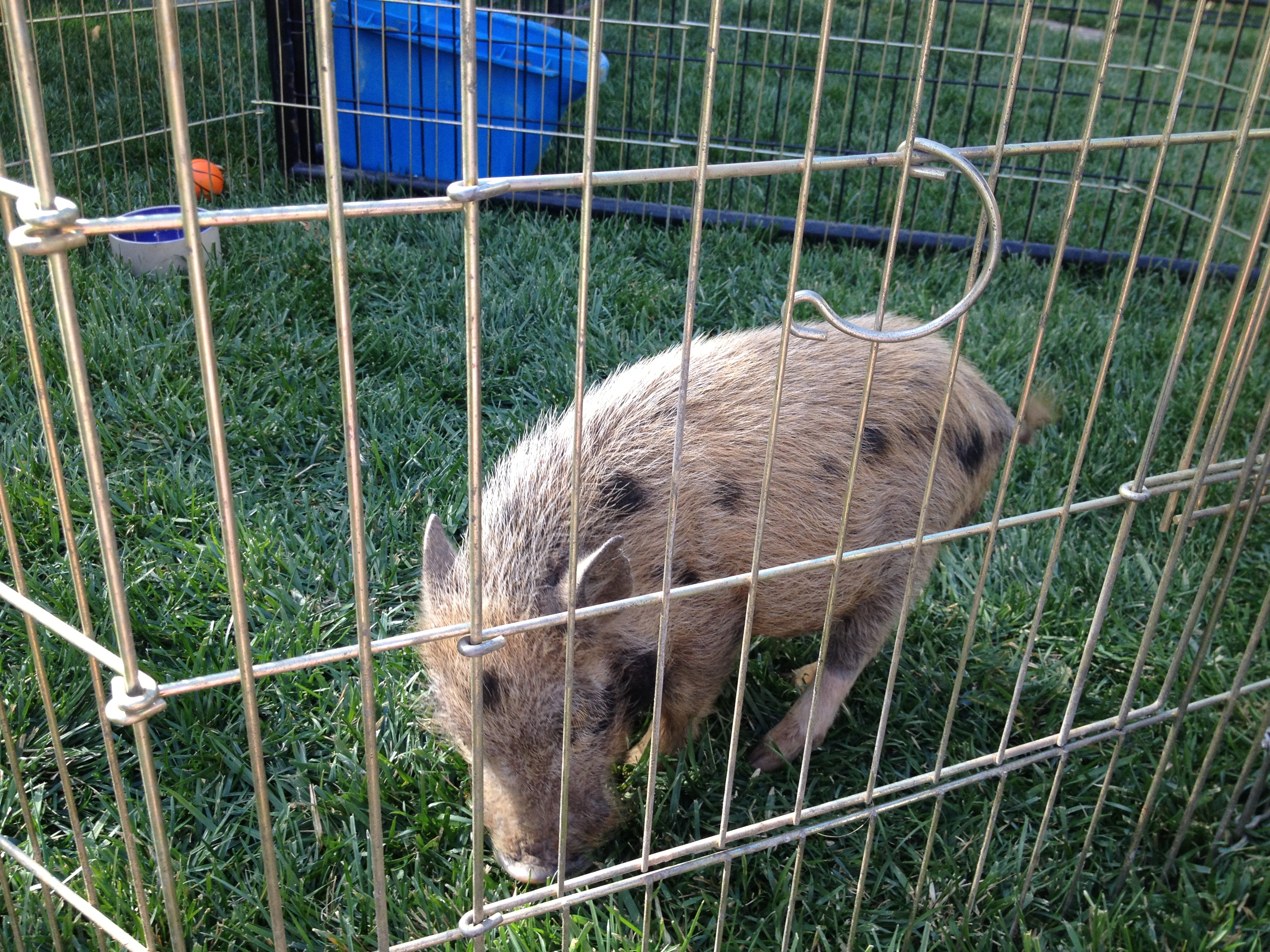 Sweet Water Farms of Murrieta's Porker... a potbellied pig that stole my Ray's heart